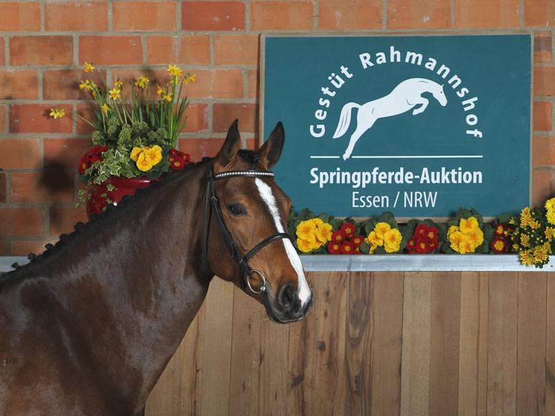 Ein hoch interessantes Pferd der Auktion auf dem Gestüt Rahmannshof in Essen ist Azura. Die siebenjährige Askari-Tochter ist aktuell international platziert.